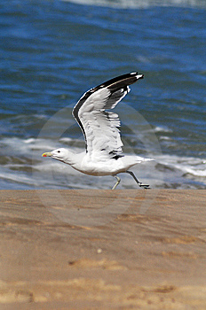 Seagull Taking Off Stock Photography - Image: 14151162