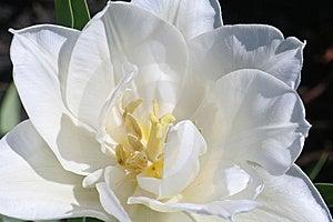 Detailed White Tulip Stock Photos - Image: 14152073