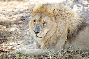 Alert Lion Watches From The Shade Stock Photos - Image: 14153253