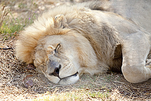 Tired Lion Dozes In The Cool Shade Royalty Free Stock Photography - Image: 14153307