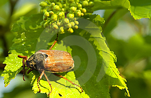 Beetle Royalty Free Stock Photos - Image: 14155588