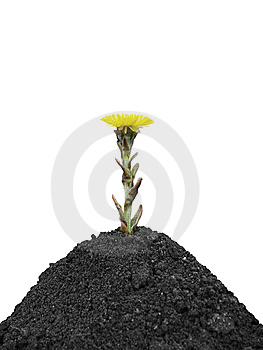 Black Soil And Yellow Spring Flower Stock Photography - Image: 14157182