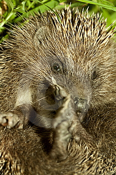 Hedgehog Royalty Free Stock Image - Image: 14157766