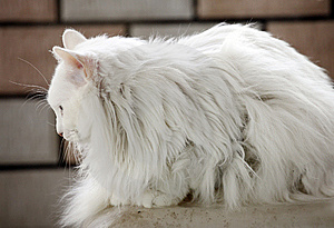 White Cat Indoor. Stock Images - Image: 14158774