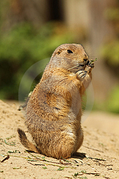 Prairie Dog Standing Upright And Eating A Twig Royalty Free Stock Photos - Image: 14159118