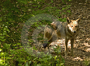 Red Wolf In Woods Stock Images - Image: 14159874