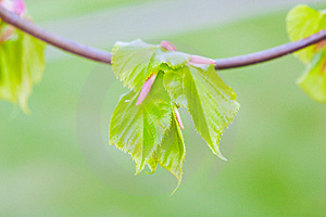New Leaves Royalty Free Stock Photos - Image: 14160198