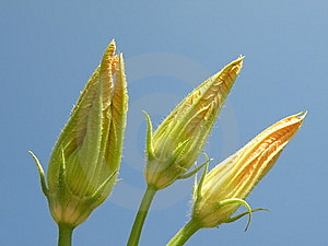 Zucchini Flowers Royalty Free Stock Photography - Image: 14161547