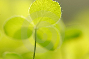 Green Lovely Clover Royalty Free Stock Images - Image: 14165069