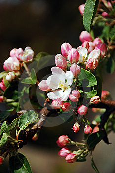 Pink Apple Blossoms Stock Photo - Image: 14165810