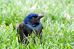 Common Grackle On The Lawn Royalty Free Stock Images - Image: 14166329