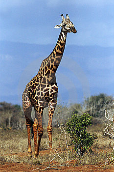 A Giraffe Walking Through The Bush Royalty Free Stock Image - Image: 14168106