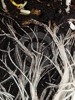 Roots Macro View Royalty Free Stock Photography - Image: 14168337