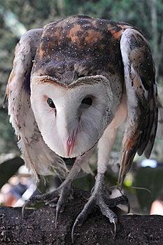 Masked Owl Stock Images - Image: 14171624