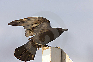 Crow Fledgling Perched On Sign Stock Image - Image: 14174421