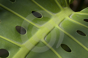 Large Tropical Leaf With Holes Royalty Free Stock Photos - Image: 14180728