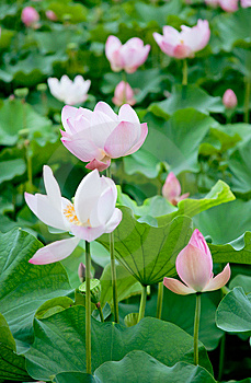 Lotus Stock Photos - Image: 14180973
