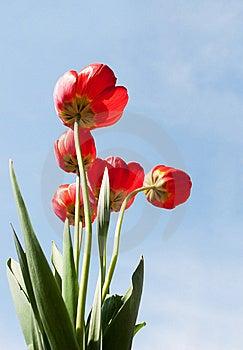 Tulips Royalty Free Stock Photo - Image: 14189245