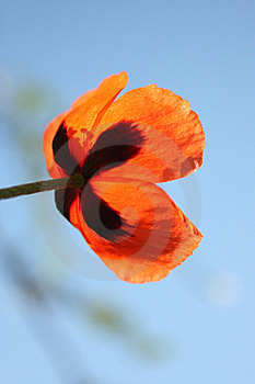 Wild Poppies By The Side Of The Roa Stock Photos - Image: 14189393