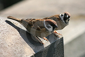 Two Sparrows Royalty Free Stock Image - Image: 14191996