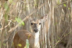 Fawn In A Bush Stock Photography - Image: 14199762