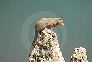 Dwarf Mongoose Royalty Free Stock Image - Image: 14200156