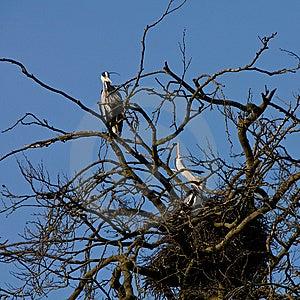 Grey Heron Bird Couple Sitting On The Nest Stock Photography - Image: 14200382