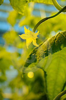 Greenhouse Cucumber Royalty Free Stock Photos - Image: 14200468