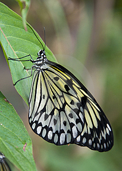 Yellow And Black Butterfly Stock Photography - Image: 14200522