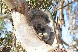 Koala On A Tree Royalty Free Stock Photo - Image: 14201205