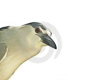 Blach Heron Royalty Free Stock Photos - Image: 14203928