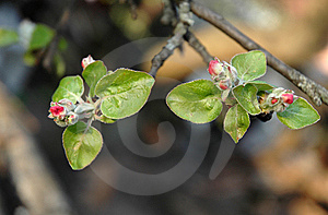 Spring Flowers Blossoming On A Tree Branch Royalty Free Stock Images - Image: 14205559