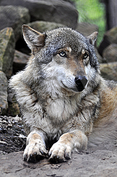 European Wolf - Canis Lupus Lupus Stock Photography - Image: 14207162