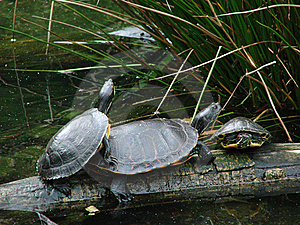 Turtles On A Log Stock Images - Image: 14208324