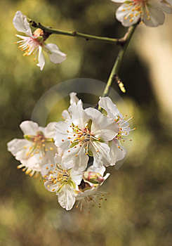 Branch Cherry Flowers Blossom Stock Image - Image: 14211671