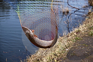 Catching Pike Fish With Tackle Royalty Free Stock Photos - Image: 14217428