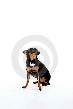 Black Chihuahua Royalty Free Stock Photo - Image: 14218605