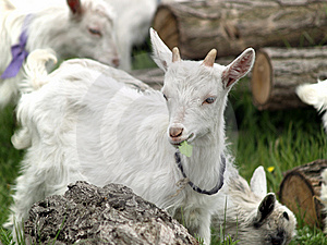 Small Goat Cubs Eating Grass Stock Photo - Image: 14219580