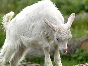 Small Goat Cub Eating Grass Stock Image - Image: 14219601