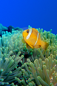 Clownfish Over Anemoni 0002 Stock Photography - Image: 14221432