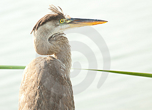 Heron Portrait Royalty Free Stock Images - Image: 14221519
