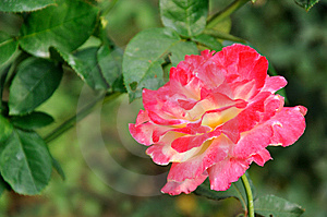 China Rose With Pink Color Stock Photography - Image: 14221622