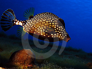 Smooth Trunkfish Royalty Free Stock Image - Image: 14221996