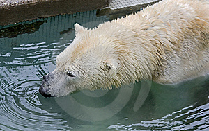 Polar Bear 15 Stock Image - Image: 14224991