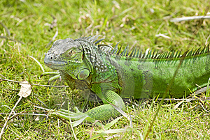 A Green Lizard Stock Photography - Image: 14225632