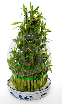 Bamboo Tree Stock Images - Image: 14228534