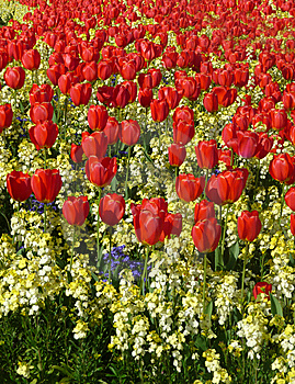 Red Tulips Royalty Free Stock Images - Image: 14228969