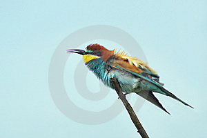 European Bee Eater Stock Images - Image: 14229094