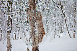 A Female Lynx Climbing Royalty Free Stock Images - Image: 14232409