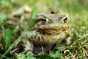 Frog Stock Image - Image: 14232771